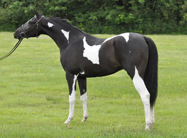 Arabian for sale